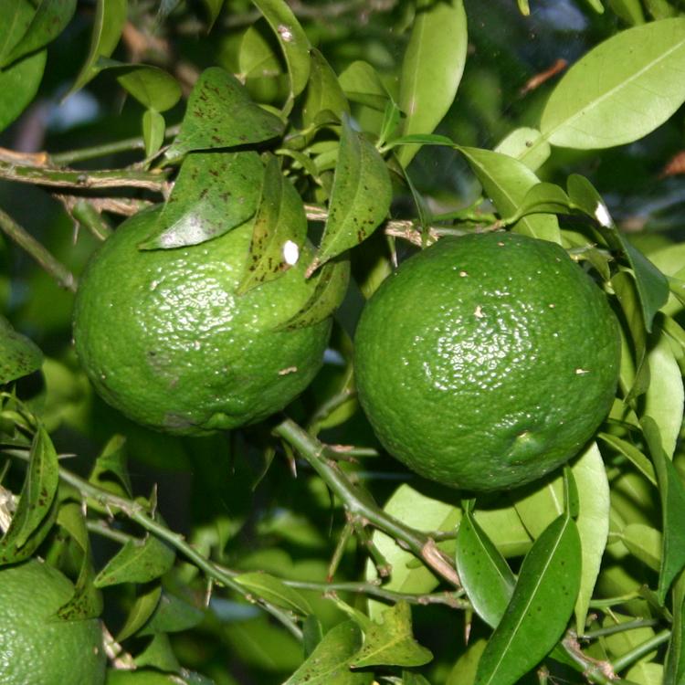 豊かな風味を出すため無農薬栽培の柚子を使用する