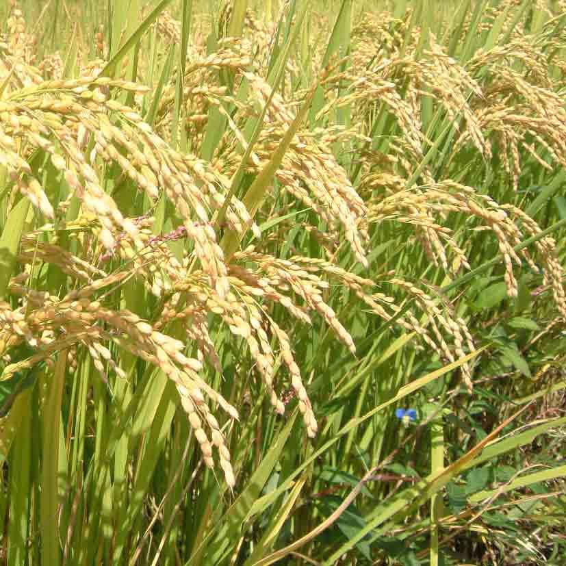 大冷害にも負けない力強い稲