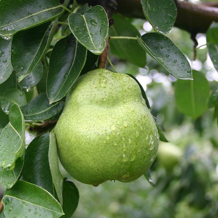 収穫時はまだ硬く青々しい果実、お届け時(食べ頃間近)は茶色がかった果皮に。