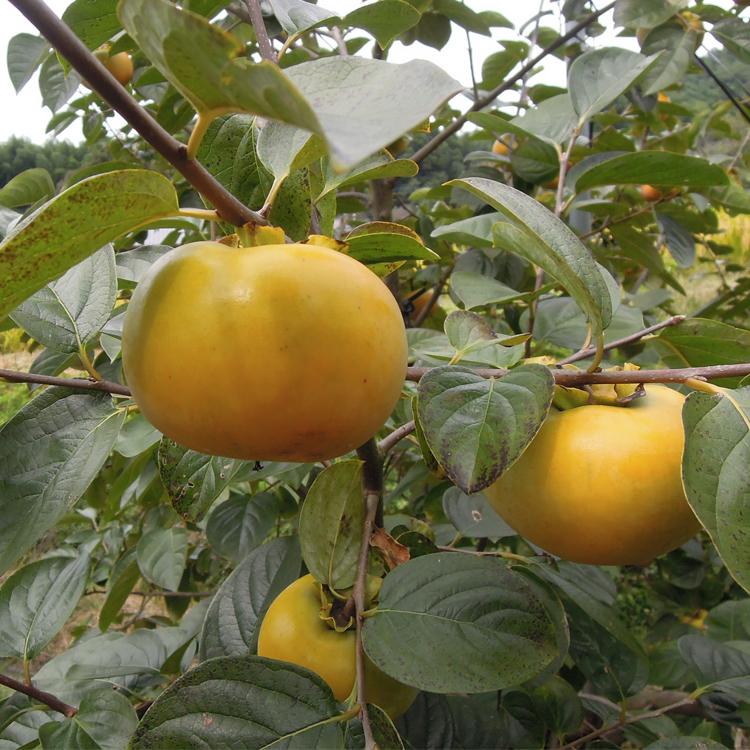 まだ果皮に青みが残るときに収穫します。