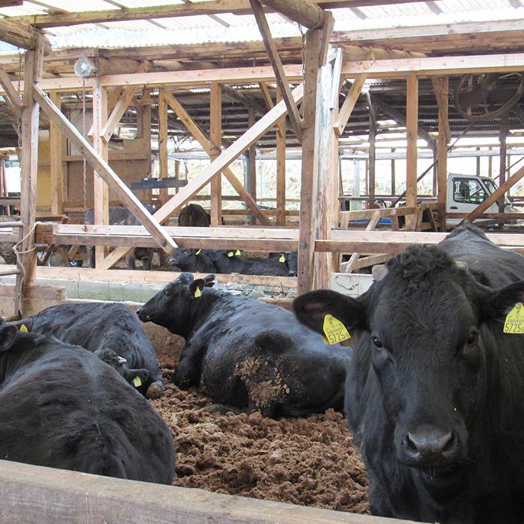 赤崎牧場の赤崎牛