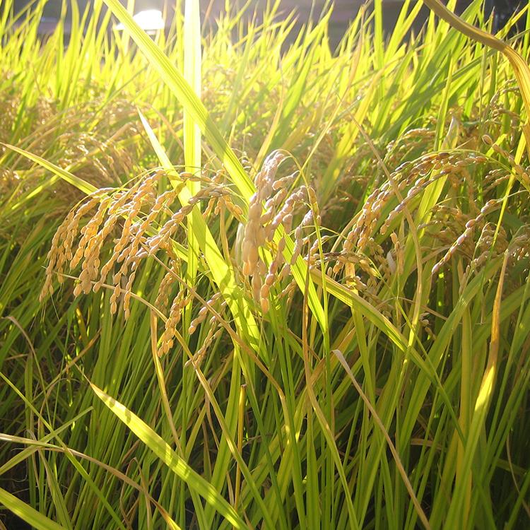 農薬を一切使用していない自家製の餅米
