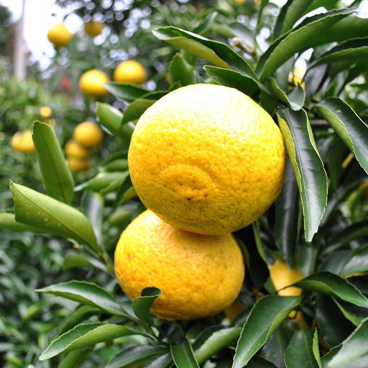 熊本県の慣行栽培基準より化学肥料・農薬を70%以下に減らしている。農薬を控え露地栽培されるため、見た目はキズや黒ずみが御座います。(写真ははるか)