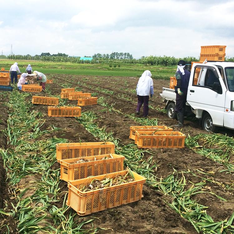 6月下旬から7月上旬にかけ収穫