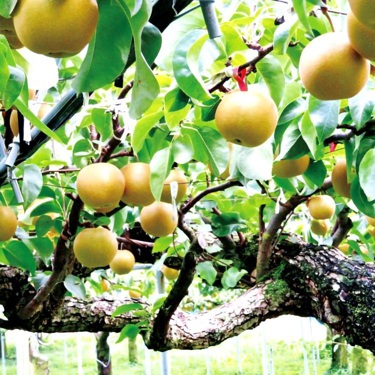 低農薬・無化学肥料栽培で、大切に育てられた自家製の梨を使用