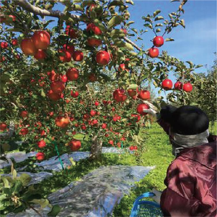樹上完熟:収穫後に熟成させるのではなく、樹上で完熟するのを待って収穫するため、自然なりんご本来の美味しさを味わっていただけます。