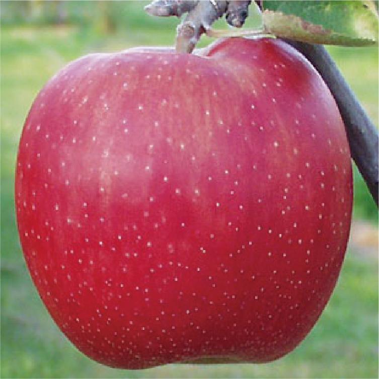 樹上完熟「ジョナゴールド」:甘未・酸味ともに強く爽やかな味。さらに無袋栽培のため、コクのある味わいが楽しめます。